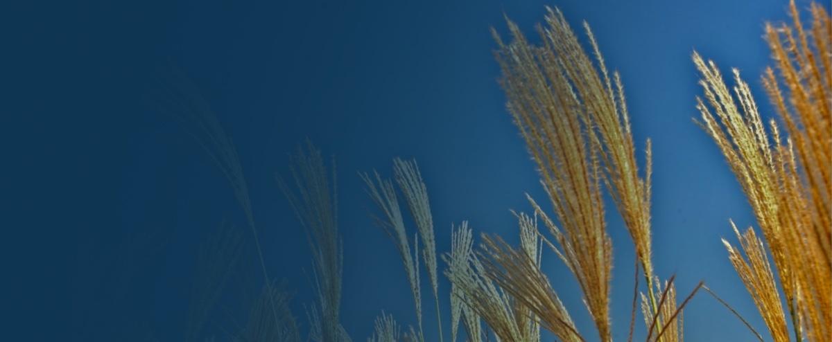 Wheat Image