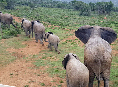 (ERP) Great Karoo Elephant Migration